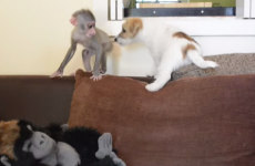 A baby monkey and some Jack Russell puppies, hanging out