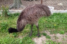 Four-foot-tall emu 'stolen' from pet farm in Carlow