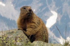 Chinese man dies of bubonic plague after feeding his dog a marmot