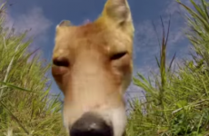 This fox eating a GoPro will make you very uncomfortable