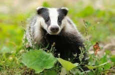 Ireland culled up to 39,000 badgers in six years