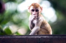 India hires men dressed as monkeys to scare off real monkeys