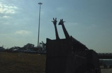 Giraffe in truck dies after hitting head on low bridge