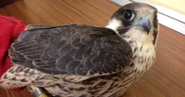 This protected falcon had to be euthanised after being shot in Wexford