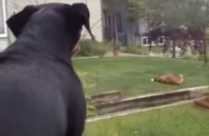 This dog is raging that a fox is playing with his toys