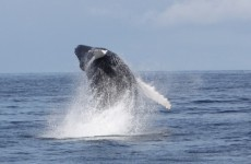 There's plenty of Humpbacks out there, but this year's Whale Watch day was a bit of a washout…