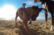 GoPro created a harness which lets you capture the world from a dog's viewpoint