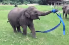 This baby elephant enthusiastically dancing with ribbon will make you smile