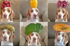 Stop everything and watch this dog balancing a bunch of food on his head