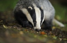 The Government needs 25,000 badger body bags
