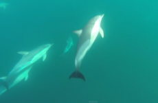 Wonderful underwater footage of a pod of dolphins off the Kerry coast
