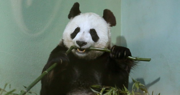"Edinburgh Zoo's panda is ""no longer pregnant"""