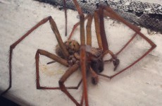 Ireland's 'giant spider invasion' is real... but here's what you need to know