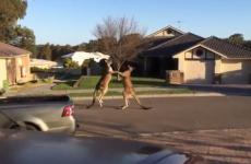 Watch two kangaroos having an epic brawl on Australian street