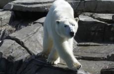 Polar bear ancestry traced back to... Ireland?