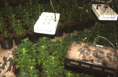 Police in Northern Ireland seized a lot of cannabis plants last night