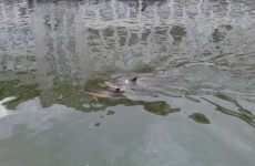 Cork dolphin dies in city centre river
