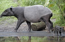 Toddler attacked by tapir in Dublin Zoo 'lucky not to be infected'