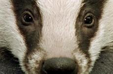 Hospital screens for tuberculosis as UK prepares for badger cull