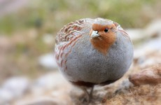 Apparently, we've just given Northern Ireland 29 partridges ... But no pear trees