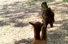 Baby alpaca tries to climb on its mam's back, mam says 'NOPE'