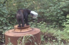 Bear survives for three weeks with jar stuck on its head