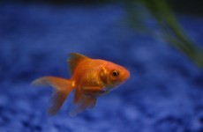 Man pays £300 to save his constipated goldfish