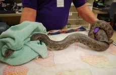 Woman plunges blocked toilet, pulls out 5ft boa constrictor