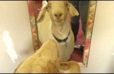 Goat freaks out when she discovers she's a damn goat
