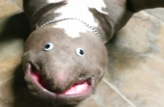 Stop what you're doing and watch this 14-second video of an upside-down dog