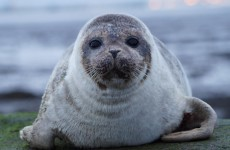 The baby seal in Dublin Bay has made its way back to sea