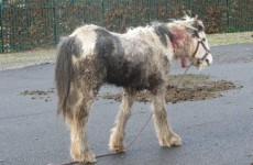 Seven-month-old foal found with massive neck wounds in Sligo