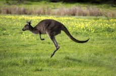Woman asked to leave US McDonald's for having a baby kangaroo in a car seat