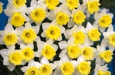 Do not eat: Supermarkets warned to keep daffodils away from fruit and veg