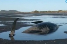 """We're trying to keep the rest alive"": 100 whales die on New Zealand beach"