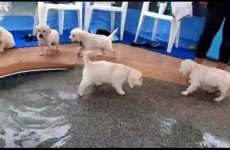 Puppies going for their first swim is all you need to see this morning