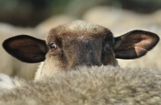 Your dogs could attack sheep if they're not  neutered