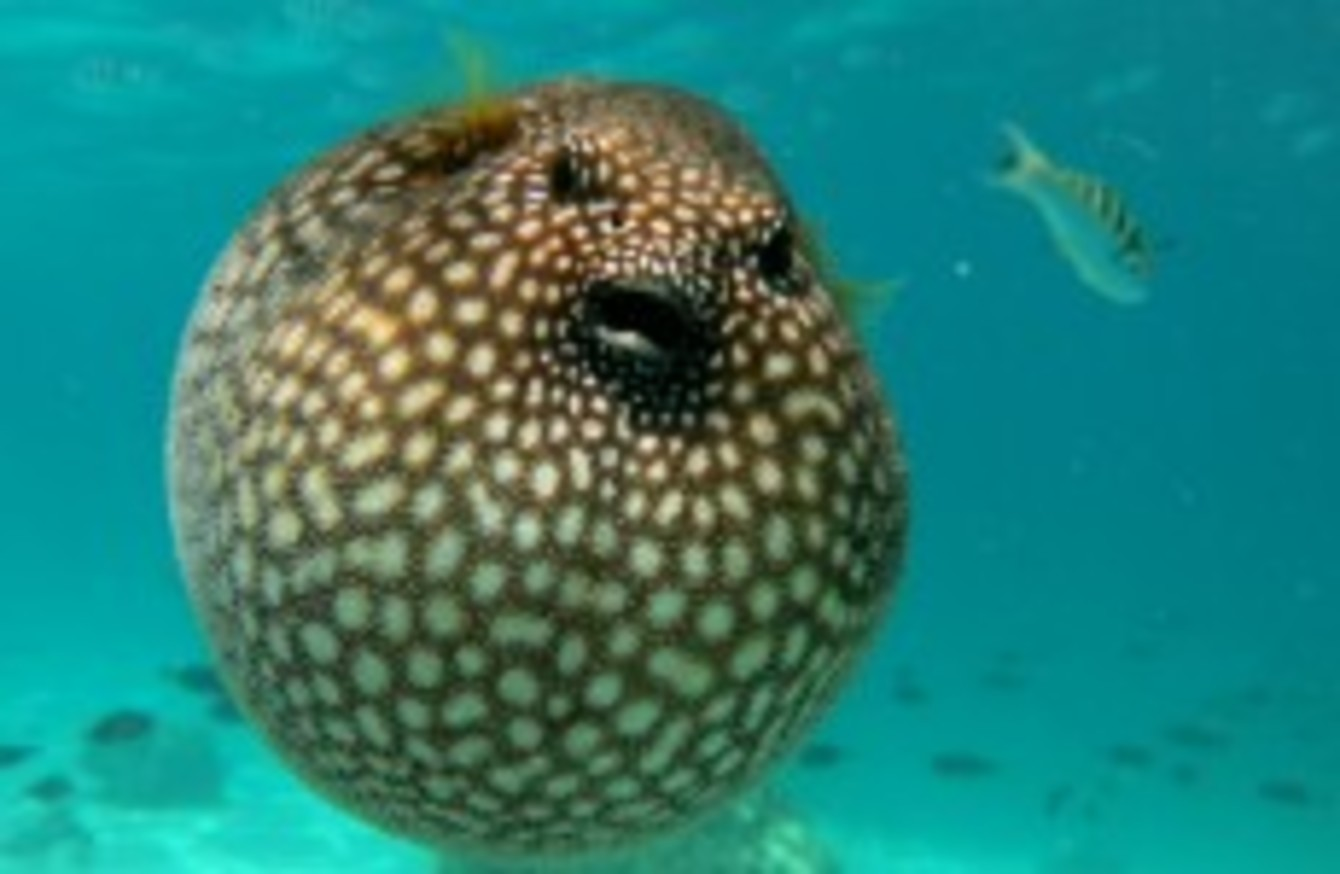 Five japanese men sickened after eating poisonous blowfish for Japanese puffer fish