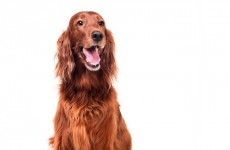 Irish Red Setter dies after Crufts, as owners claim he was poisoned