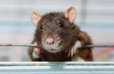 "Rats are ""dancing a polka set"" in Killarney according to one councillor"