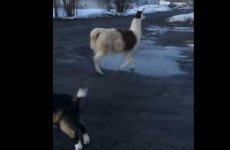 Guy freaks out when randomly ambushed by farm animals on the street