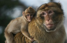 Two monkeys have escaped from Belfast Zoo and are running wild