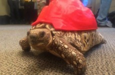 This tortoise got a brand new 3D-printed shell after her own one was damaged
