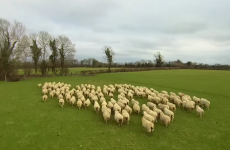 A Carlow farmer is using a drone to herd his sheep