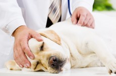 Kerry vet warns locals about possible strychnine poisoning of three dogs