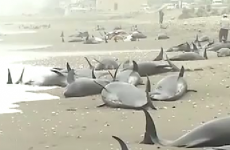 Around 150 beached dolphins feared dead as rescue efforts abandoned