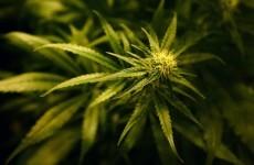 Gardaí seize 400 cannabis plants in Westmeath