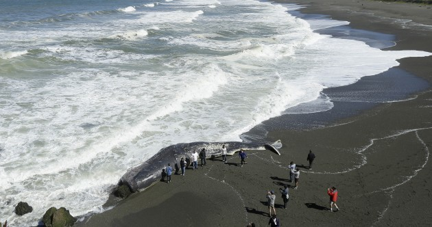 Pictures: Crowds gather as massive sperm whale washed ashore in California