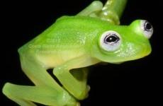 Yep, this fella looks exactly like Kermit the Frog