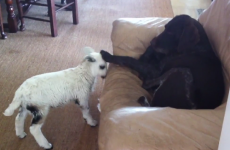 Watch an innocent dog fend off a vicious lamb attack